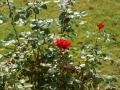 Letzte Reste am Rosenbusch