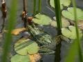 Frosch Quak