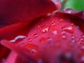 Rosen, Wassertropfen, Taschenlampe
